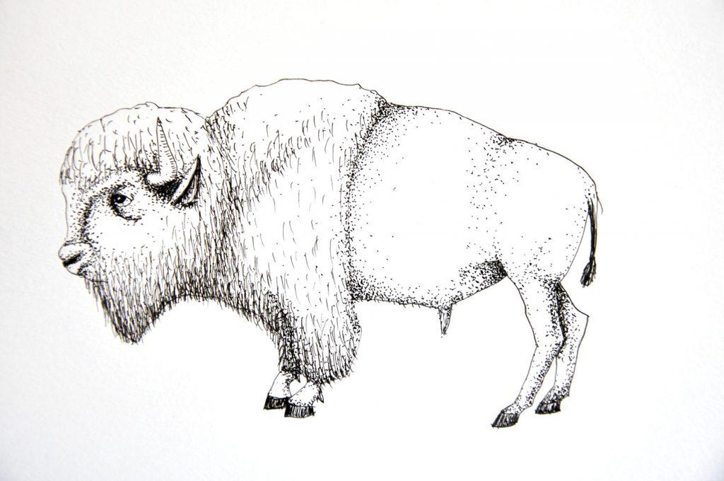 dessin_014-bison